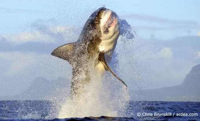 Great White Shark breaching in False Bay, South Africa