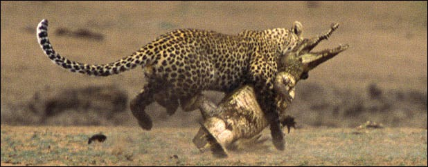 Leopard savages crocodile in Kruger Park, South Africa
