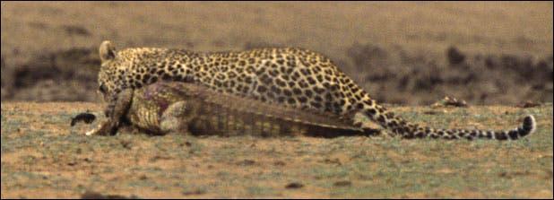 Leopard savages crocodile in Kruger Park, South Africa