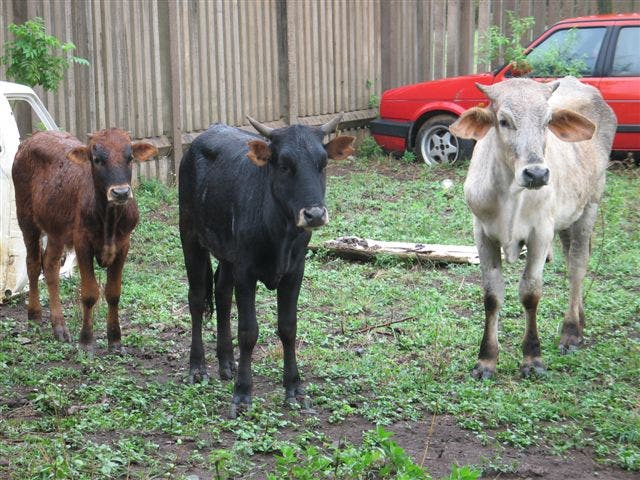 sa-stolen-cows4