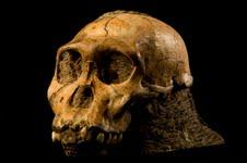 Sediba Cranium