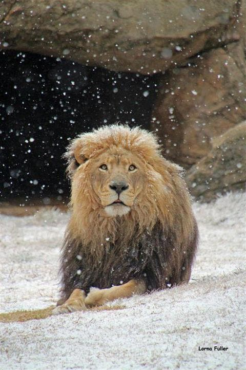 Lion in the snow at Johannesburg Zoo
