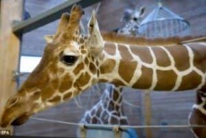 Giraffe at Copenhagen Zoo