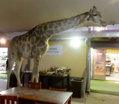 Perdy - tame giraffe in South Africa