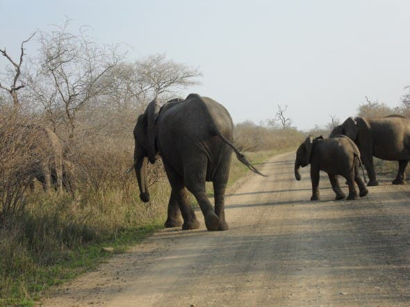 Elephants in the Kruger National Park