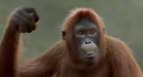 Orangutan Video