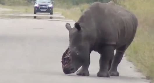 Dehorned rhino in Kruger National Park