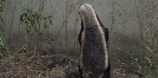 honey badger houdini south africa