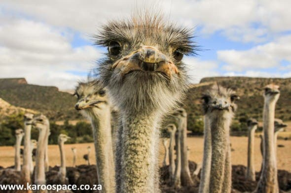 The Little Karoo - Ostrich Country.