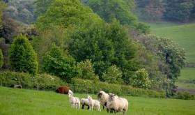 sheep-ireland-02