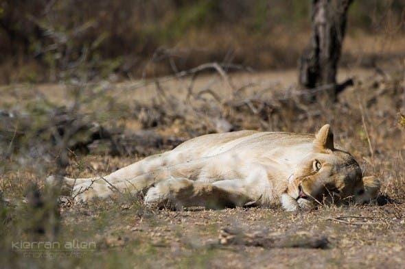 Lion around, South Africa