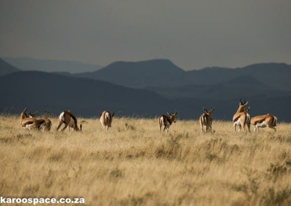 Landscape magic of springbok on a ridge at the Mountain Zebra National Park.