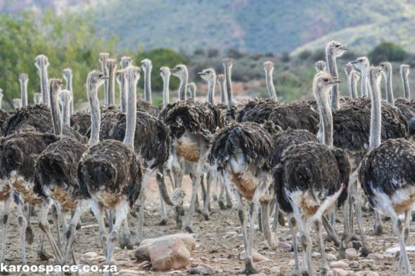 Ostriches, the big icon birds of the Little Karoo.