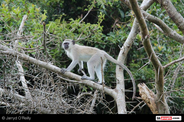 Monkeying around in an acacia!