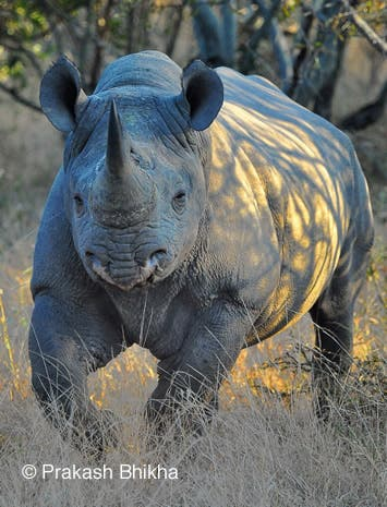 South African rhino under threat