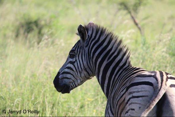 zebra-south-africa