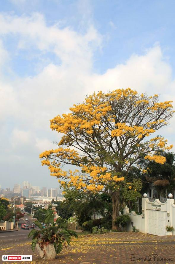 Durban tree