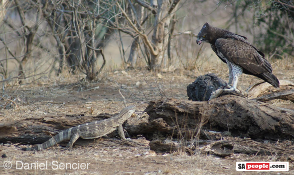 Eagle and prey, Kruger National Park