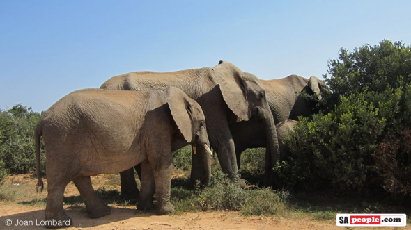 Save South Africa's Elephants