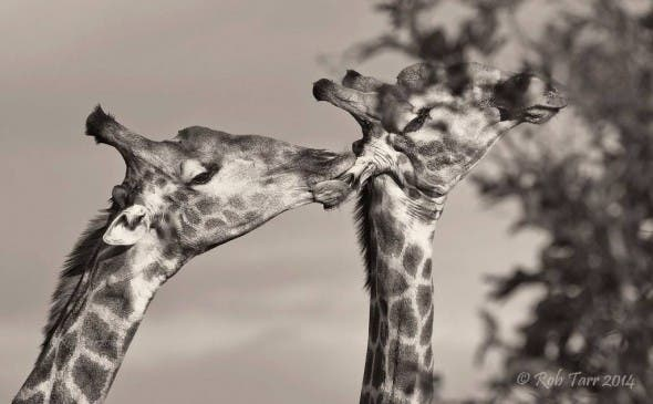 Giraffe licking ear
