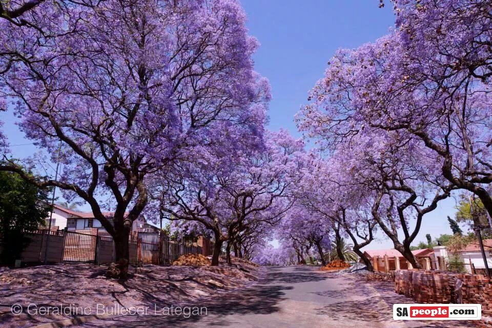 Jacaranda trees, Pretoria, South Africa