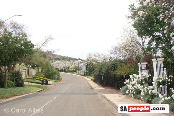 White Jacaranda, Pretoria