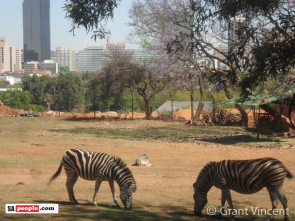 "Grant Vincent: ""Here is another jacaranda photo. It was taken in 2012 at the National Zoological Gardens, Pretoria."
