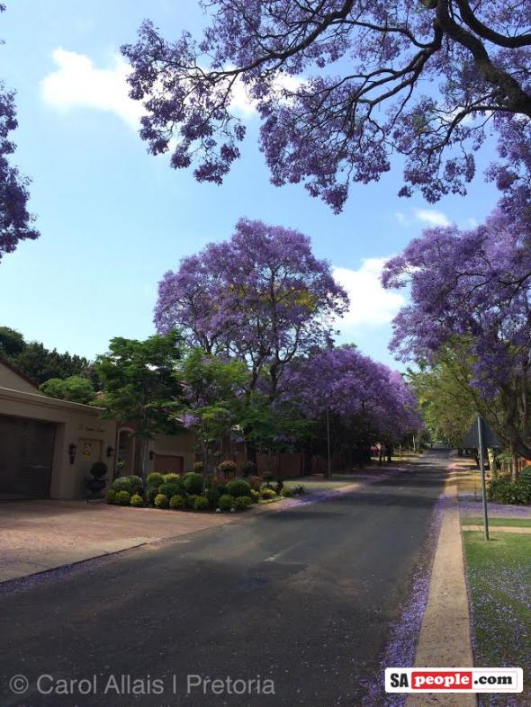 Pretoria Jacaranda trees