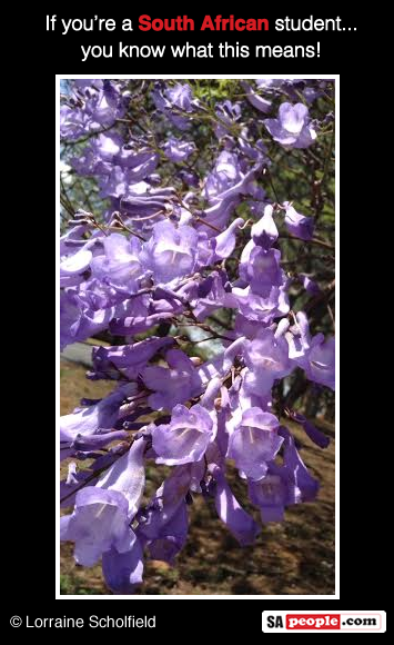 Exam time's looming when you see the Jacaranda in bloom