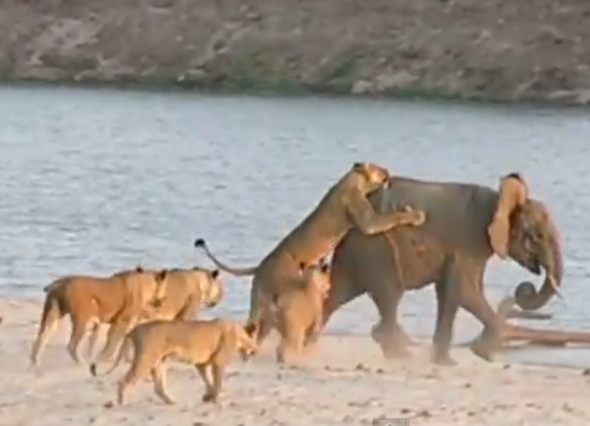 Baby Elephant survives attack by lions