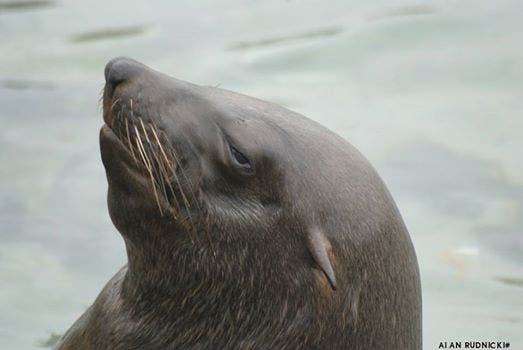 Gumtree ad asks for anyone like this Seal posing in Hout Bay