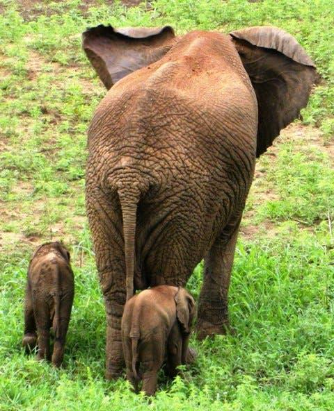 Rare Elephant Twins South Africa