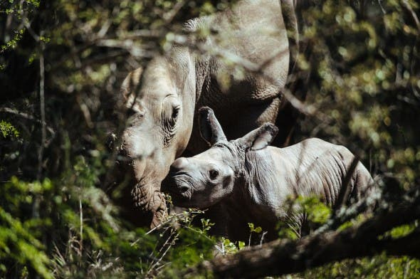 Thandi, poached rhino gives birth in South Africa