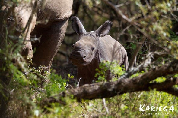 Thandi, rhino gives birth in South Africa