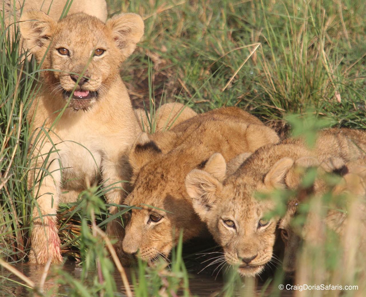 Lion cubs...where they belong. In the wild. Photo: CraigDoriaSafaris.com