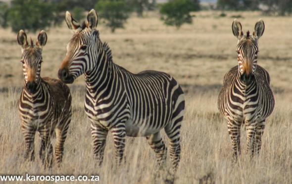 mountain zebra national park, cradock
