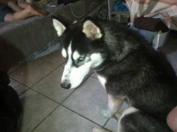 Max, husky dog at centre of animal cruelty claims