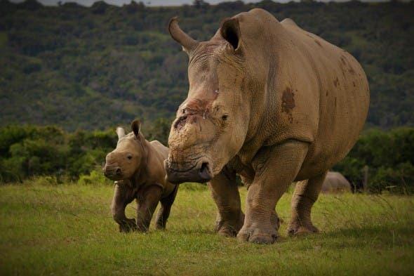Thandi and her calf Thembi. Photo: Kariega / A. Goody