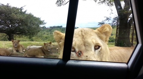 Lion Opens Car Door in South Africa