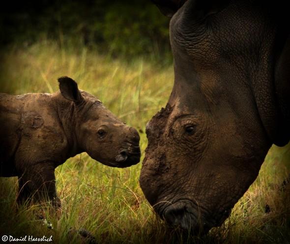 Thandi and her calf Thembi. Photo: Kariega