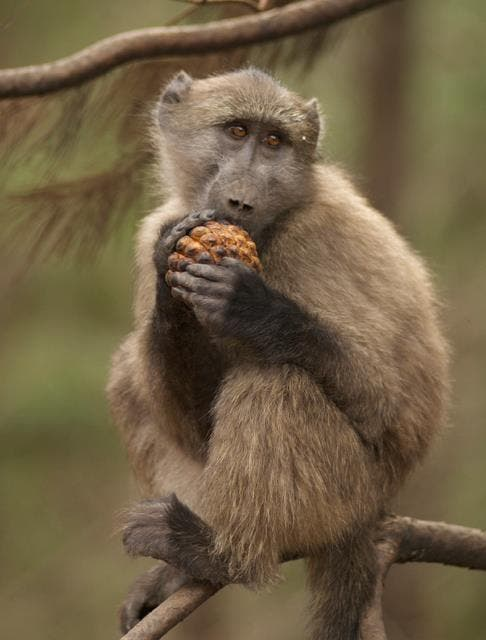 Tokai Troop. A baby baboons feasts on pine nuts dropped by pine trees after the fire.
