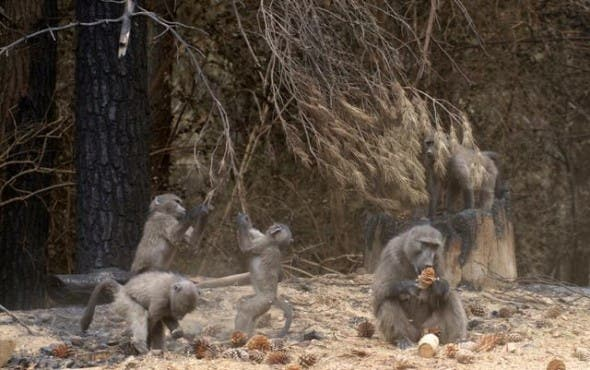 Tokai Troop. A female and infants feast on pine nuts dropped by pine trees after the fire.