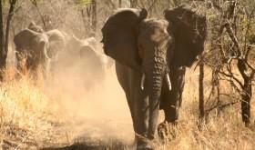 elephant-can-kill