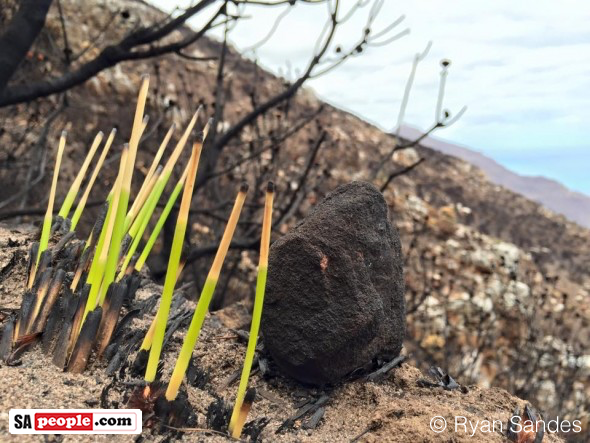 Mountain regrowth after #CapeFire