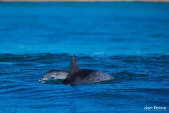 Dolphins Port Elizabeth