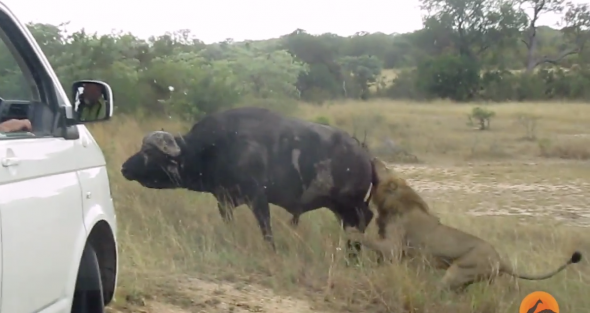 Buffalo fights off lions