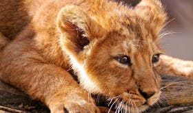 Canned Lion industry, South Africa