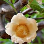 Baobab Fruit Pod