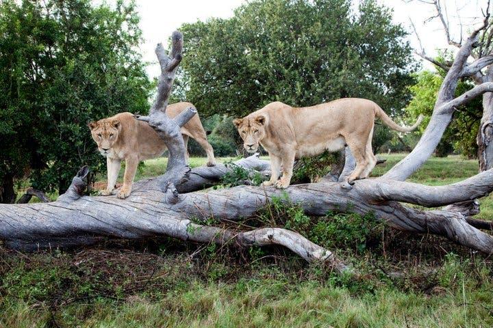 Lions at Lion Park, South Africa