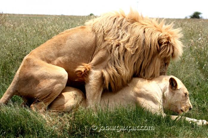 lion porn